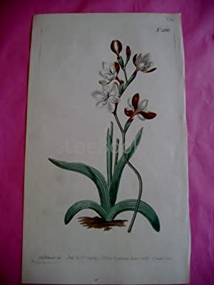 ORIGINAL HAND-COLOURED COPPER ENGRAVING - Ixia falcata FROM CURTIS'S BOTANICAL MAGAZINE - Plate N...