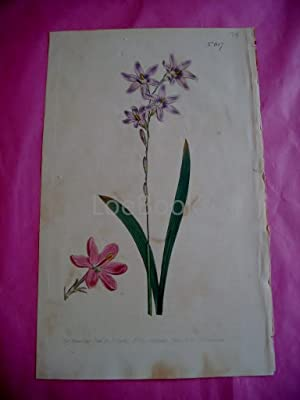 ORIGINAL HAND-COLOURED COPPER ENGRAVING - Ixia capillaris FROM CURTIS'S BOTANICAL MAGAZINE - Plat...
