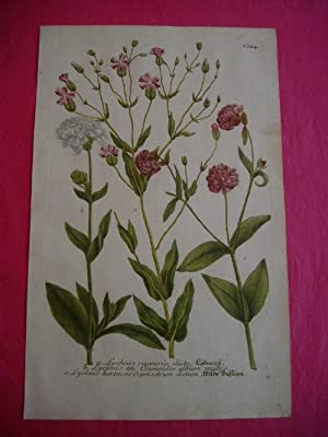 ORIGINAL COLOURED ENGRAVING - Lychnis vaccaria etc. - Plate No. 684 from Phytanthoza Iconographia: ...