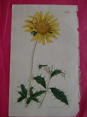 ORIGINAL HAND-COLOURED ENGRAVING - Berckheya grandiflora FROM CURTIS'S BOTANICAL MAGAZINE - ...
