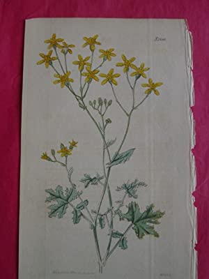 ORIGINAL HAND-COLOURED ENGRAVING - Cineraria parviflora FROM CURTIS'S BOTANICAL MAGAZINE - Plate ...