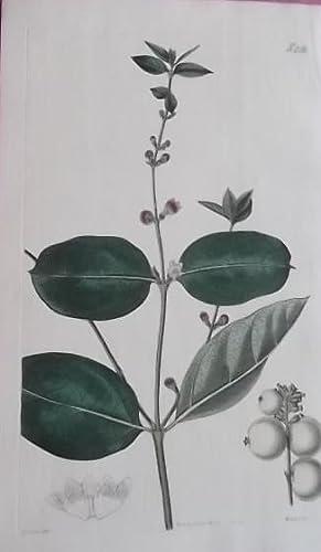 ORIGINAL HAND-COLOURED ENGRAVING - Symphoria Racemosa (Symphoricarpus' Snow-Berry) FROM CURTIS...