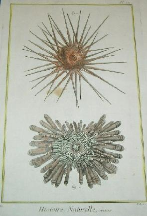 ORIGINAL HAND-COLOURED COPPER ENGRAVING - HISTOIRE NATURELLE, OURSINS (Sea Urchins) FROM DIDEROT&#...