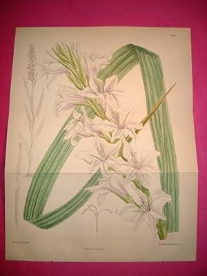 ORIGINAL HAND-COLOURED LITHOGRAPH IRIS GLADIOLUS - Gladiolus: Curtis, William