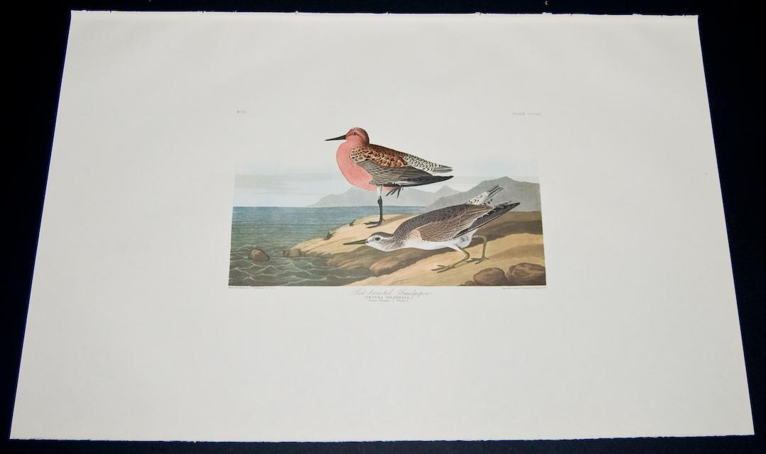Red-breasted Sandpiper John James Audubon [Fine] (bi_22451616715) photo