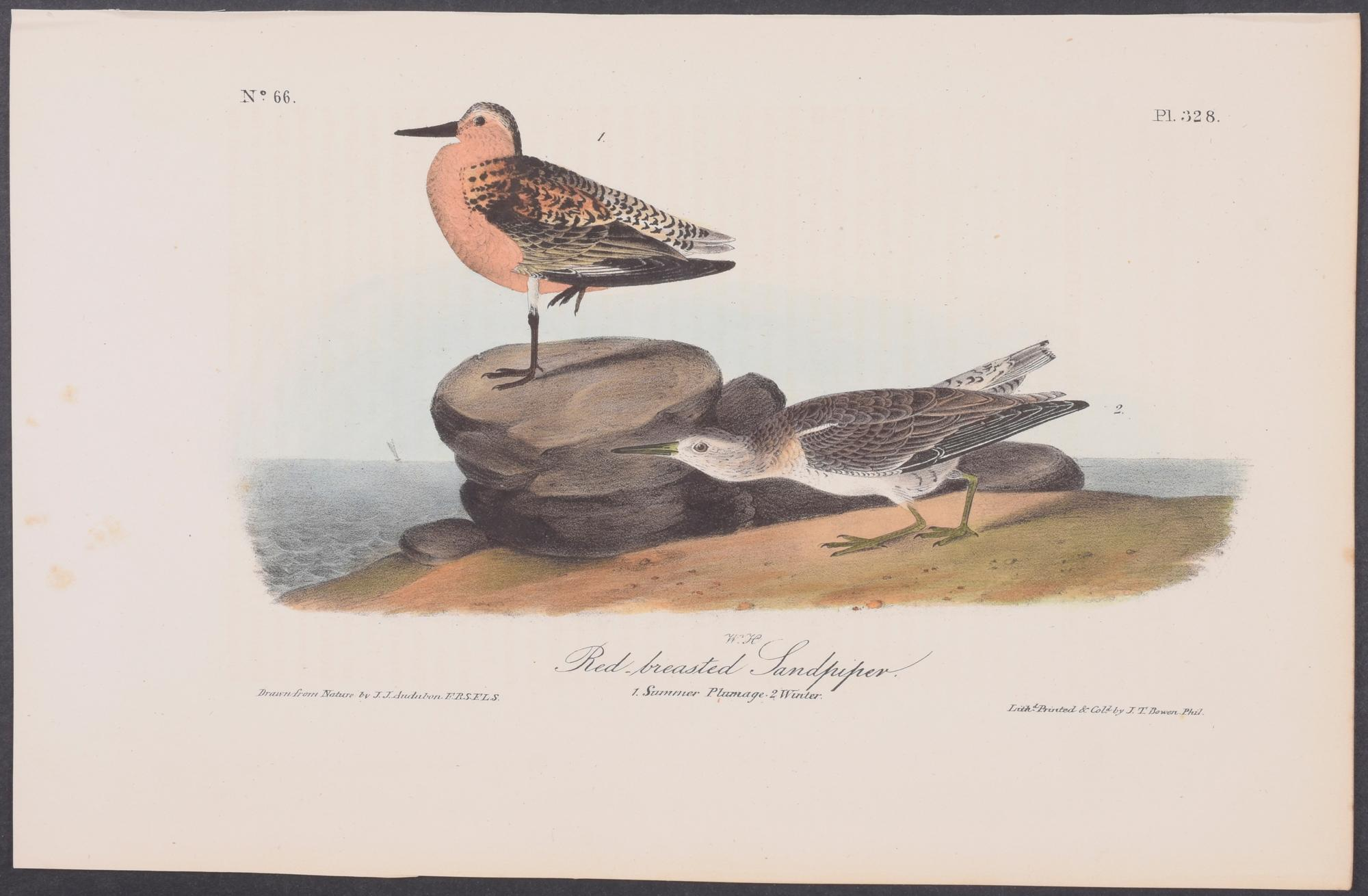 Red-breasted Sandpiper John James Audubon [Fine] (bi_30178213537) photo