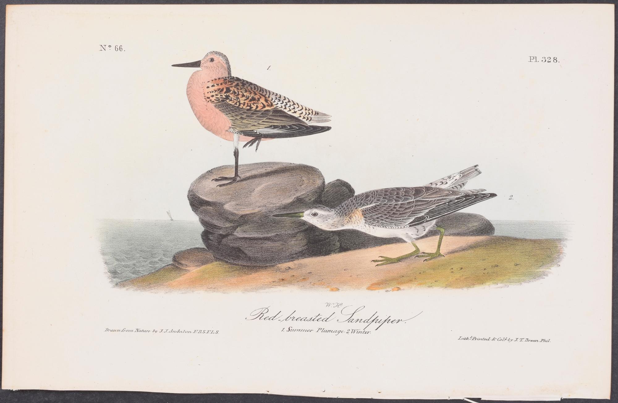 Red-breasted Sandpiper John James Audubon [Fine] (bi_30224912753) photo