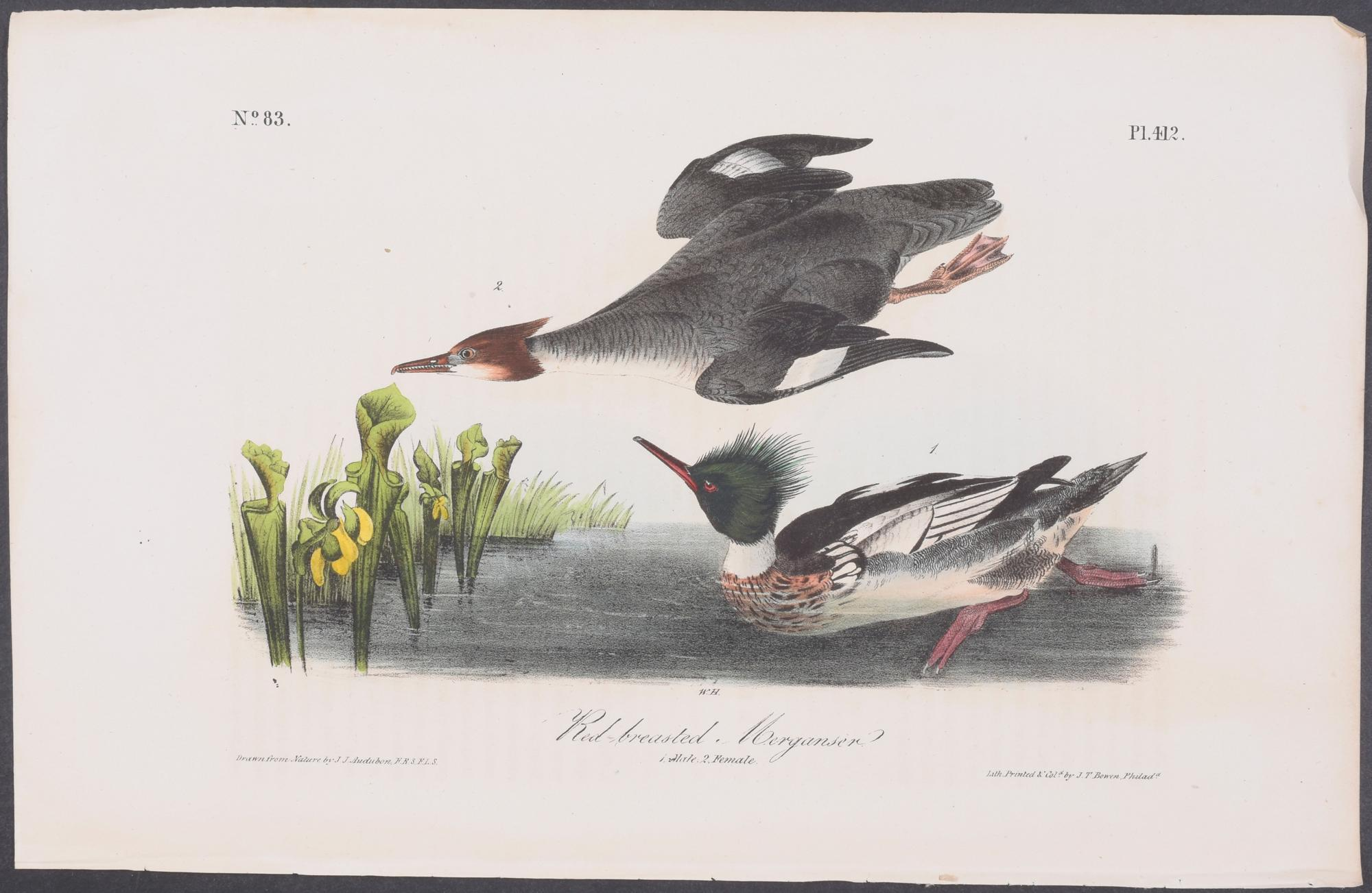 Red-breasted Merganser John James Audubon [Fine] (bi_30302003376) photo