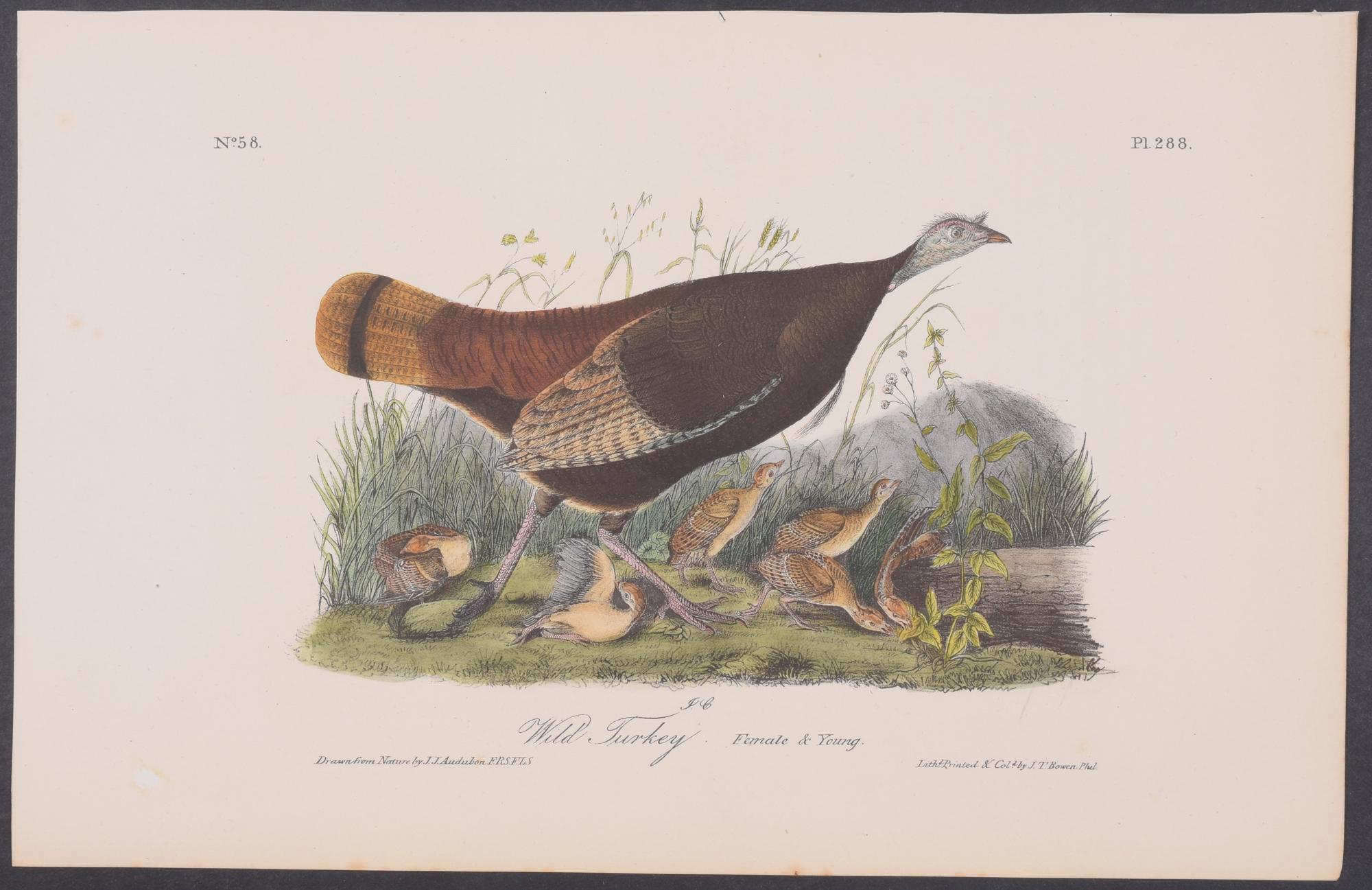 No 1 Wild Turkey John James Audubon Double Elephant Folio Fine Art Print Giclee