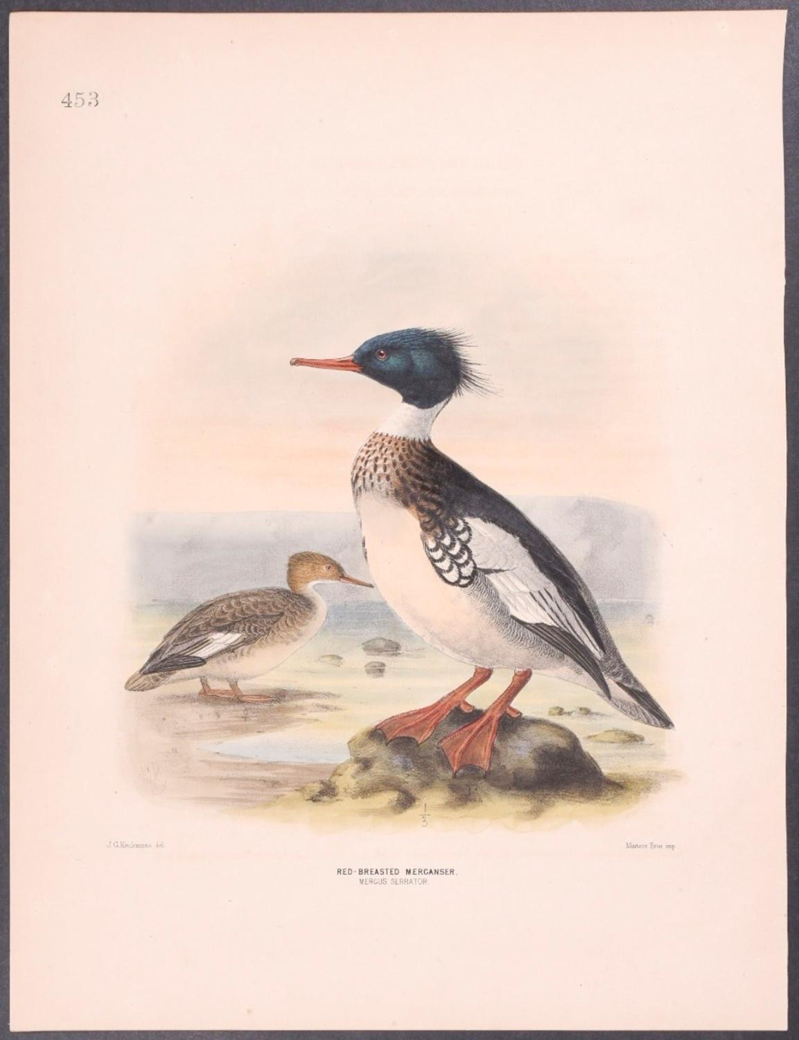 Red-breasted Merganser Henry Dresser [Fine] (bi_30492531495) photo