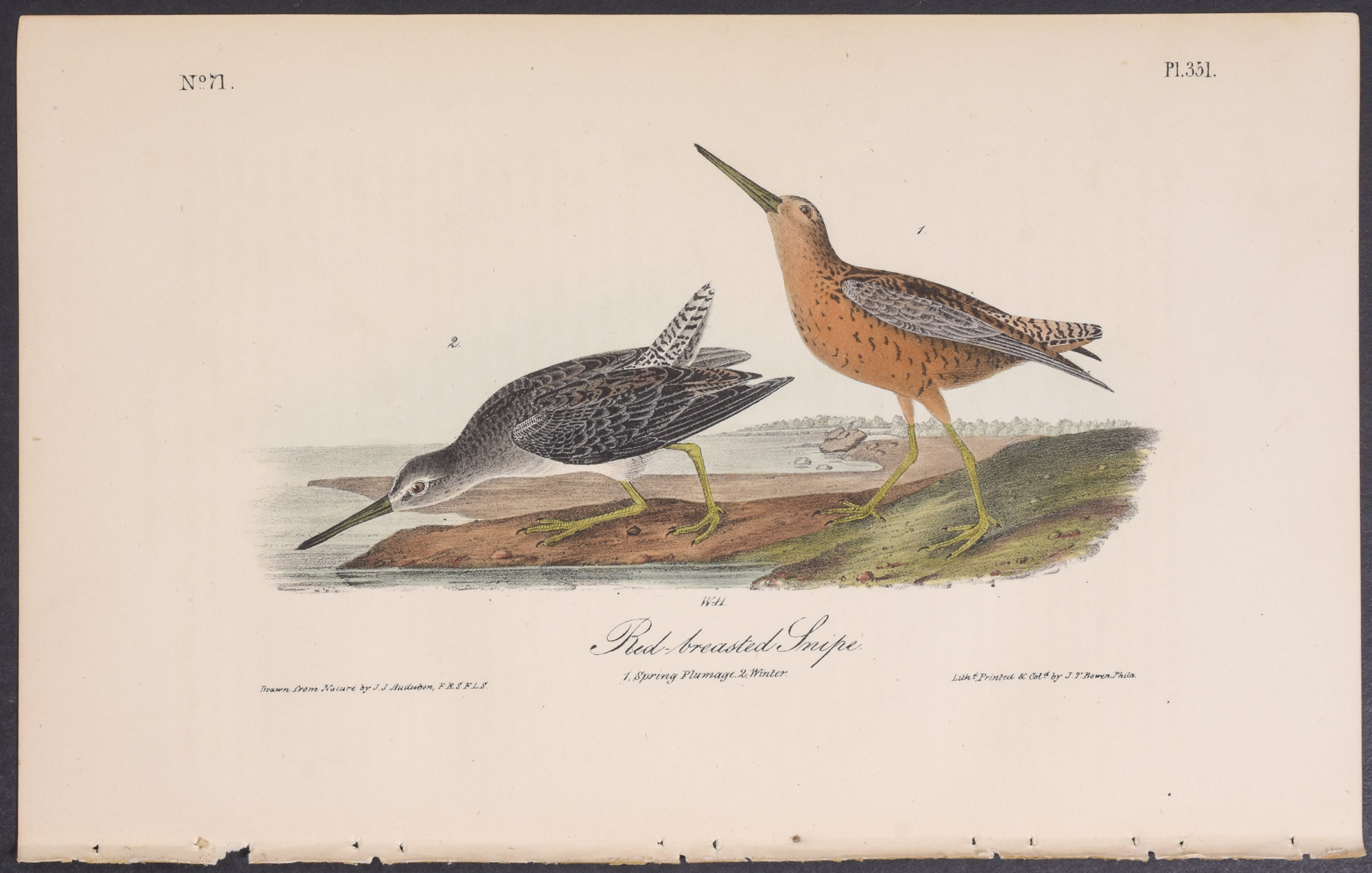 Red-breasted Snipe John James Audubon [Fine] (bi_30693272884) photo