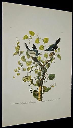 Loggerhead Shrike: John James Audubon