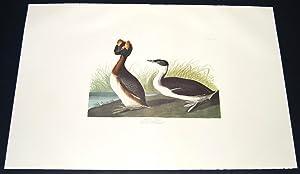 Horned Grebe: John James Audubon