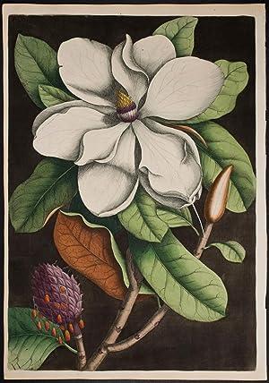 Laurel-Tree of Carolina (Magnolia): Mark Catesby