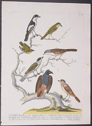 37-1865-1868 Storia Naturale Degli Uccelli. White Wagtail Bettoni