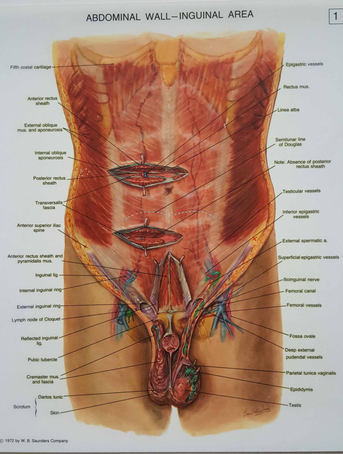 Surgical Anatomy Of The Abdomen And Pelvis A Series Of Translucent