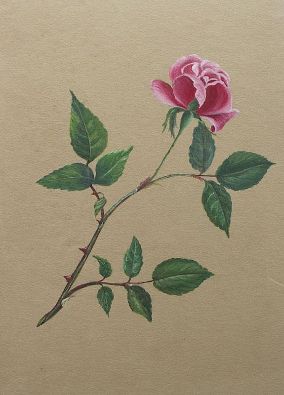 Rose In Karminrosa Aquarell By Blumen Aquarell 1840 Ca 24 X