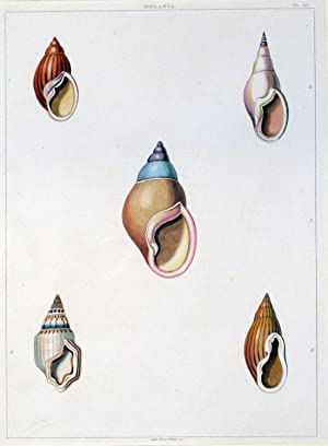 Conchiglie, appartenente all'opera Conchology, or the Natural History of Shells