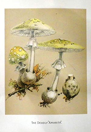 Our Edible Toadstools and Mushrooms and How to Distinguish Them: A Selection of Thirty Native Food ...