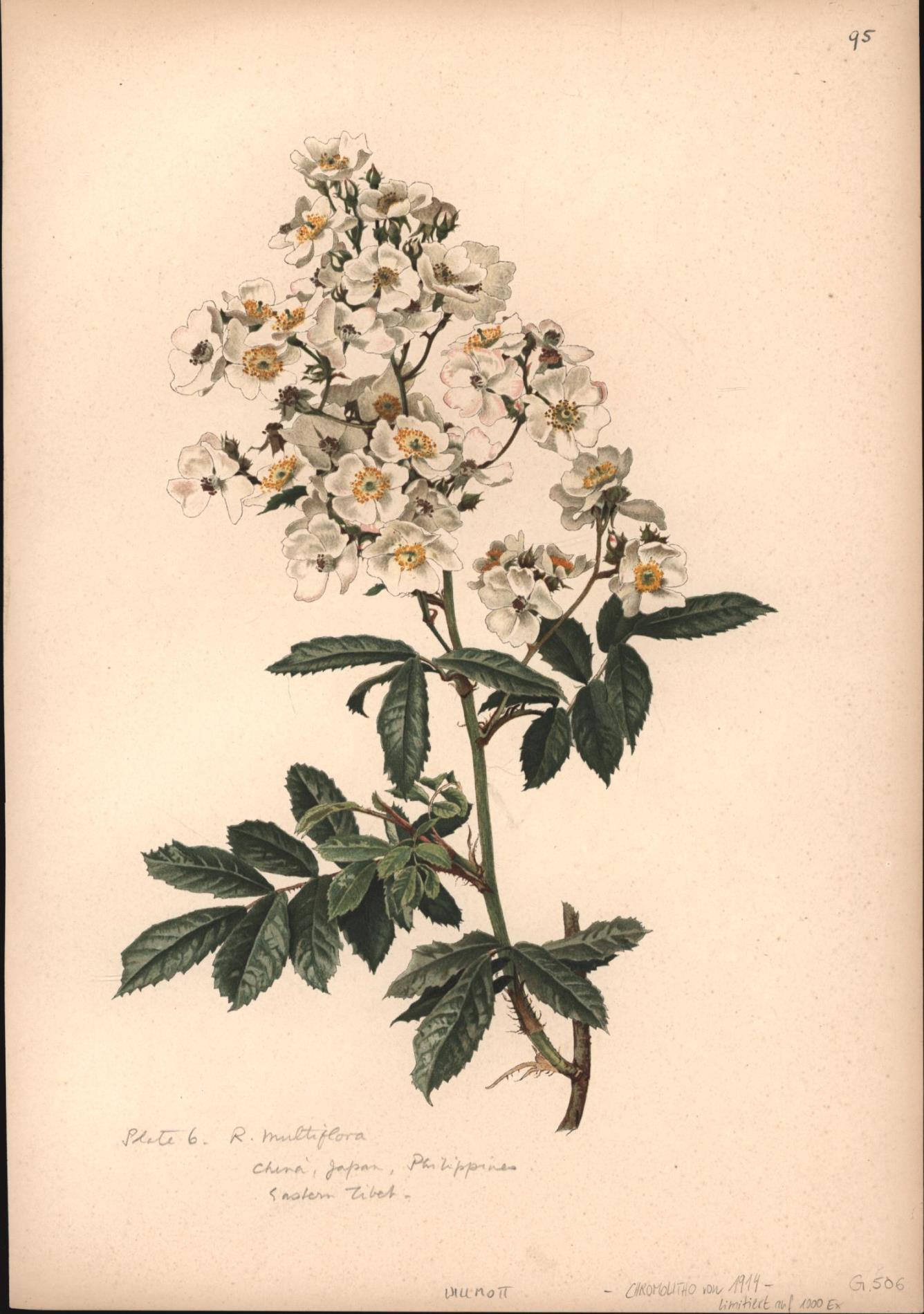 Rosa Multiflora,Botanik Pflanzenstudie Herbarium: Nach : Aquarellen
