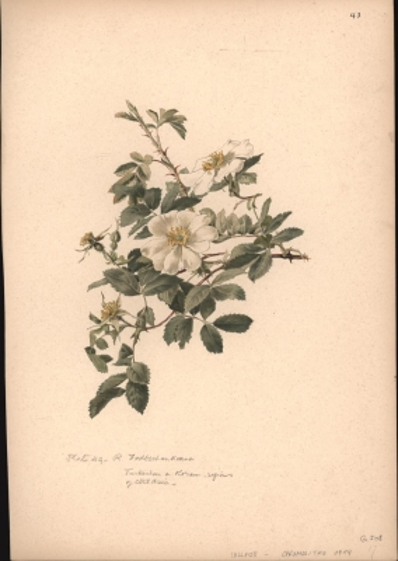 Rosa Fedtschenkoana,Botanik Pflanzenstudie Herbarium: Nach : Aquarellen