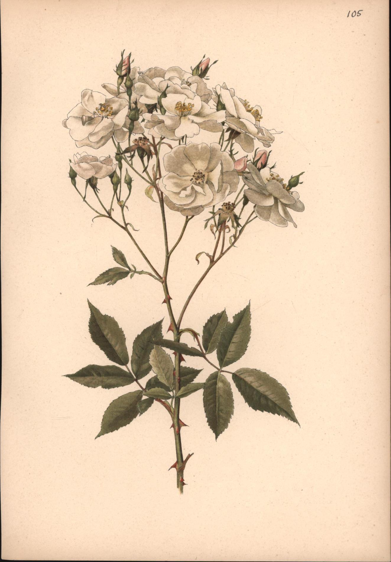 Rosa Moschata, HERM. Var. Rosa Pissardi, Carriere: Nach : Aquarellen
