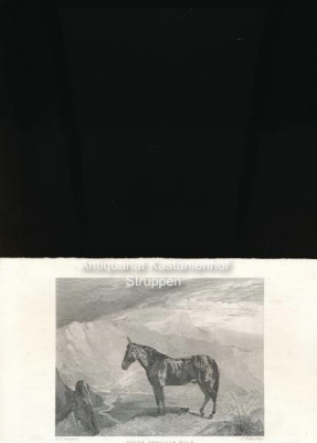 South American Mule - Original-Radierung und Stahlstich,The Property of his Majesty. Published by J...