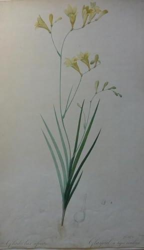 Gladiclus refractus.Aus : Les Liliacees,Botanische Studie: Pierre-Joseph Redouté (1759 St. Hubert/...