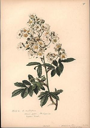 Rosa Multiflora,Botanik Pflanzenstudie Herbarium: Nach : Aquarellen von : Parsons, Alfred Willmott,...