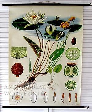 Weiße Teichrose - Nymphaea alba - Jung-Koch-Quentell,: Jung-Koch-Quentell