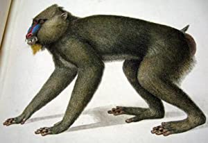 Histoire naturelle des singes et des makis.: AUDEBERT. JEAN-BAPTISTE.