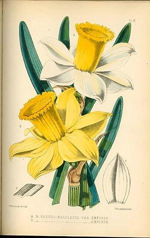 The Narcissus: Its History and Culture.: BURBIDGE, F. W.