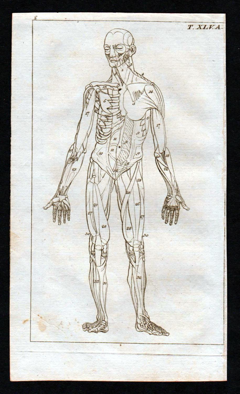 Muskeln muscles Körper Anatomie anatomy Medizin medicine Kupferstich ...