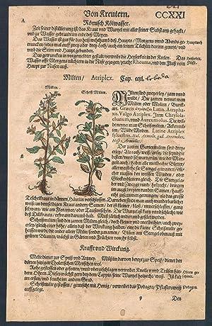 Atriplex Blitum herbal Lonicer Kreuterbuch original woodcut