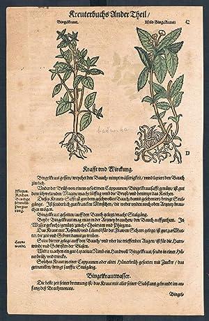 Mercurialis Sium herbal Lonicer Kreuterbuch original woodcut