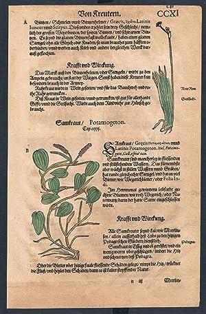 Potamogeton Lemna herbal Lonicer Kreuterbuch original woodcut