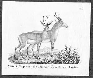 Gazelle Gazellen Saiga saige antelope Lithographie antique