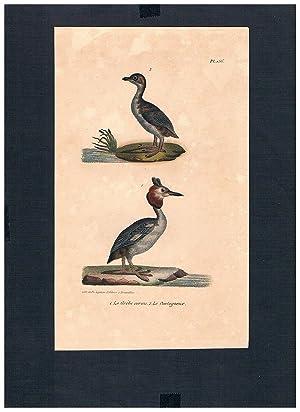 Ohrentaucher horned grebe Vogel Vögel bird birds