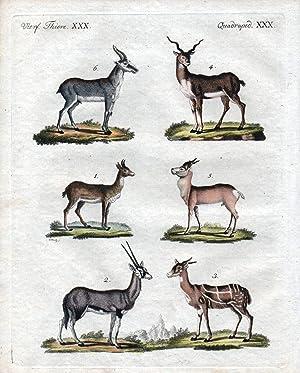 """Vierf. Thiere XXX / Quadruped. XXX""""- Antilopen: Bertuch, Friedrich Justin:"""