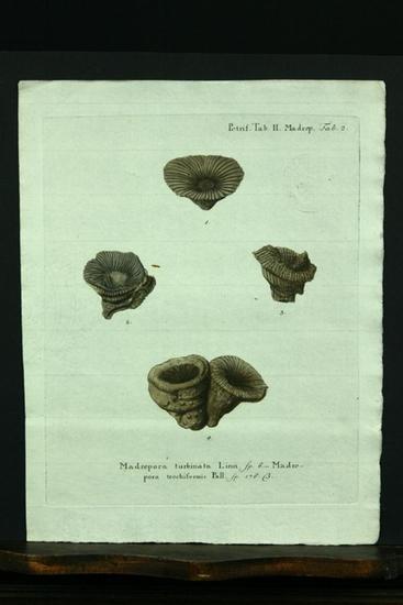 Madrepora turbinata Linn. sp. 6. - Madrepora: Esper, E. J.