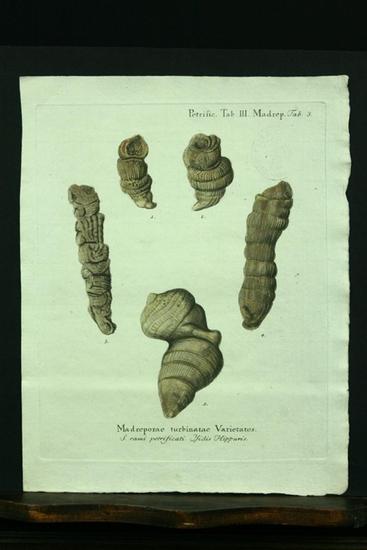 Madreporae turbinatae Varietates. - Kupferstich, altkoloriert.: Esper, E. J.