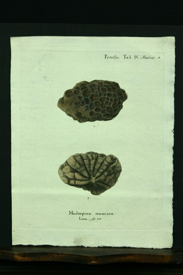Madrepora truncata. Linn. sp. 24. - Kupferstich,: Esper, E. J.