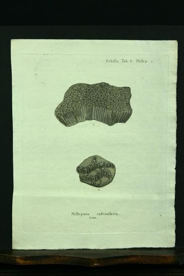 Millepora catenularia. Linn. - Kupferstich, altkoloriert.: Esper, E. J.