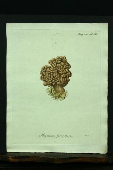 Alcyonium spongiosum. - Kupferstich, altkoloriert.: Esper, E. J.