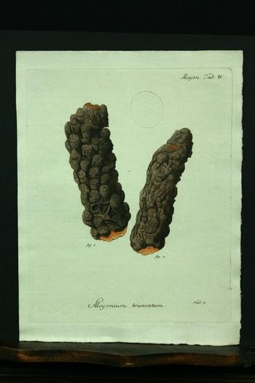 Alcyonium truncatum. - Kupferstich, altkoloriert.: Esper, E. J.