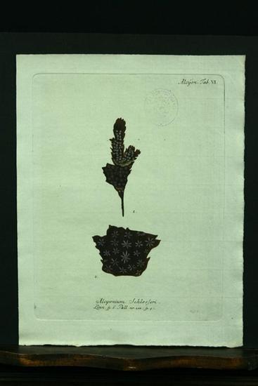 Alcyonium Schlosseri. Linn. sp.6. Pall. nr. 208.(sp.9).: Esper, E. J.