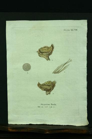 Alcyonium Bursa. Pall. nr. 206. (sp. 7).: Esper, E. J.