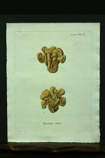 Alcyonium Pulmo. - Kupferstich, altkoloriert.: Esper, E. J.
