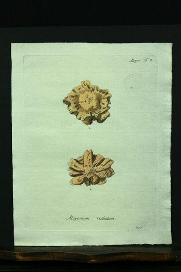 Alcyonium radiatum. - Kupferstich, altkoloriert.: Esper, E. J.