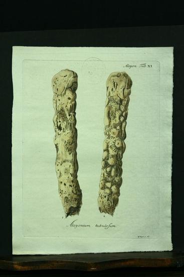 Alcyonium tubulosum. - Kupferstich, altkoloriert.: Esper, E. J.